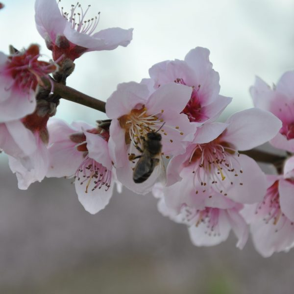 abellapresseguer